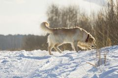 Walk dogs in the winter royalty free stock photos