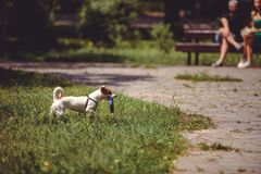 Dog on a walk playing with a toy in the park stock photography