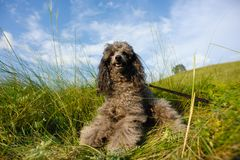 Dog for a walk Royalty Free Stock Image