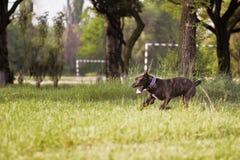 Dog on walk Royalty Free Stock Image