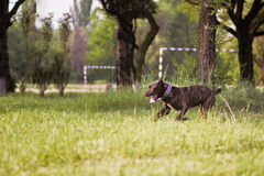 Dog on walk. The dog on walk runs on a lawn Royalty Free Stock Image