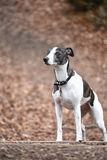 The dog on the walk. The speckled dog on the long walk with collar Stock Photography