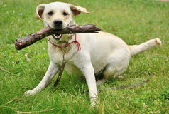 Dog for a walk with stick Royalty Free Stock Photography