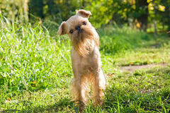 Dog on walk in the summer Stock Photo
