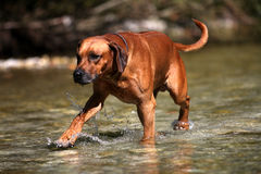 Dog walk in water Stock Photography