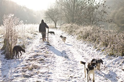 Dog walk in winter. Dog walker in the snow covered winter countryside stock photography