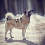 The dog for a walk in winter. Royalty Free Stock Photography