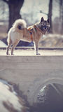 Dog on a walk in the winter, stands on the bridge. Royalty Free Stock Images