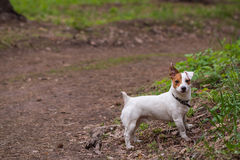 A dog on a walk. Walk in the woods dog breed Jack Russell Terrier Royalty Free Stock Image