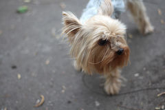 The dog on the walk. Yorkshire Terrier walks on the street royalty free stock image