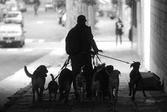 A dog walker in Buenos Aires. A dog walker walks through the streets of Buenos Aires, Aregentina royalty free stock photography