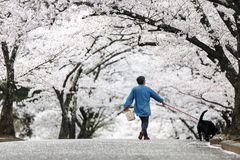 Dog walker at Cherry Blossom Path in beautiful Garden in spring,. Matsumoto, Japan Stock Image