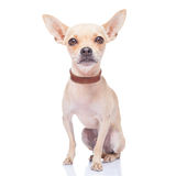 Dog walker. Chihuahua dog ready for a walk with owner , isolated on white background Stock Images