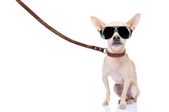 Dog walker. Chihuahua dog ready for a walk with owner , with leather leash and cool sunglasses, isolated on white background Stock Photos