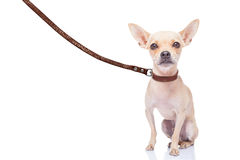 Dog walker. Chihuahua dog ready for a walk with owner , with leather leash, isolated on white background Stock Photo