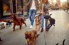 Dog walker with dogs enjoying in walk. Outdoors stock photos