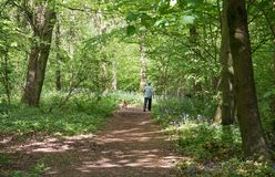 Dog Walker in English Bluebell Woodland Stock Images