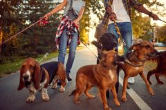 Dog Walker - funny walking with with dogs. Dog Walker - funny walking with with group of dogs outdoors stock image