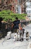 Dog walker at historic Brooklyn Heights neighborhood. BROOKLYN, NEW YORK - APRIL 11, 2017: Dog walker at historic Brooklyn Heights neighborhood. Brooklyn Royalty Free Stock Photos