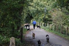 Dog walker. Man walking dogs through Hampstead Heath London Stock Images