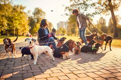 Dog walker in the street with lots of dogs. Professional dog walker in the street with lots of dogs stock image