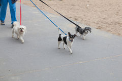 Dog walker with three dogs. A dog walker taking three dogs for a walk along the beach path royalty free stock photography