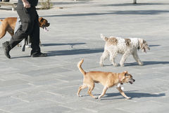 Dog walker. Unidentified dog walker on the city street with three dogs Stock Photos