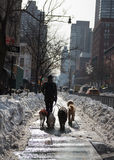 Dog Walker Walking Several Dogs Through a City. A professional dog walker walks four dogs through a wintery street in New York City's Upper West Side after a Stock Photo