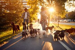 Dog walker at work. Dog walker walking with a group dogs in the park. Dog walker at work. Couple dog walker walking with a group dogs in the park stock image