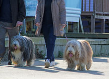 Dog walkers Stock Photo