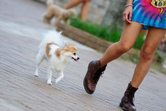 Dog walking. With its master Royalty Free Stock Photography