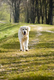 Dog walking Stock Photo