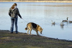 Dog Walking. A woman walking her dog down by the lake stock photos