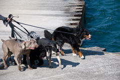 Dog walking. Dogs are taking a walk along the lake shore Stock Image