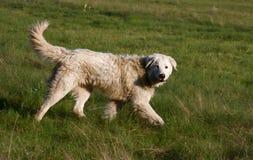 Dog walking Stock Image