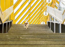 Dog walking alone on ladder of bridge with striped roof. Stone ladder of bridge and running dog Royalty Free Stock Photography