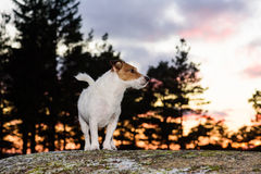 Dog walking alone off leash at evening forest. Jack Russell Terrier at sunset standing on a rock Royalty Free Stock Photo