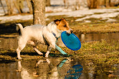Dog walking around puddles of melting snow with flying disk. Jack Russell Terrier playing at spring park Stock Photography