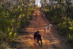Dog Walking in the Australian Bush. Walking the dogs in the beautiful Australian bush Stock Photo