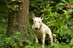 Dog. Walking the dog in an autumn evening in a forest full of plants and trees Stock Photography