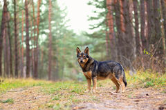 Dog in the forest. Dog walking in the autumn forest looking at camera royalty free stock photo