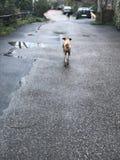 Dog walking away stock photography