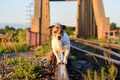 Dog walking and balancing on rail. Portrait of Jack Russell Terrier on sunset Royalty Free Stock Photo