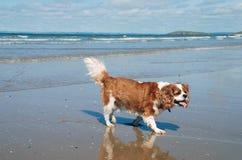 Dog walking on the beach Stock Photo
