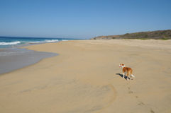Dog walking on beach Stock Image