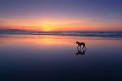 Dog walking in beach Stock Photo