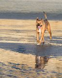 Dog Running on the Beach royalty free stock photos