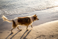 Dog walking on the beach in the morning. Royalty Free Stock Photo