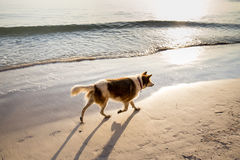 Dog walking on the beach in the morning. Stock Photos
