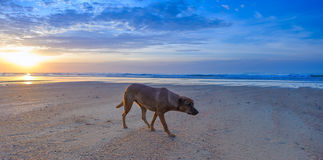 Dog walking on the beach Royalty Free Stock Image